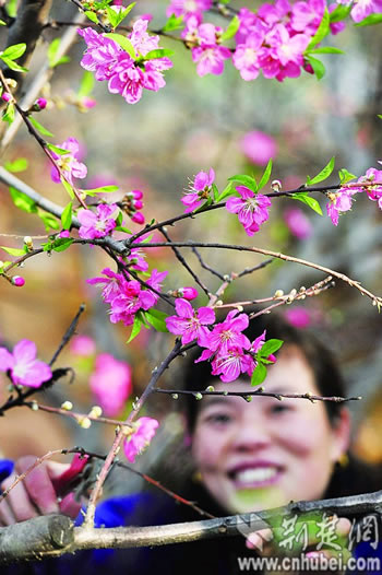 武汉植物园50余盆大型桃树盆景提前绽放(图)