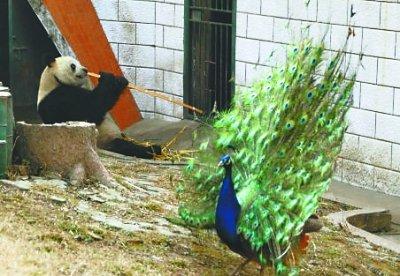 壁纸 动物 鸡 鸟 鹦鹉 400_276