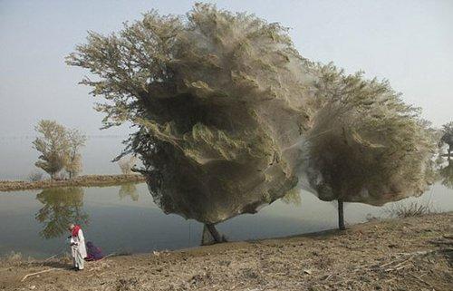 """数百万蜘蛛集体结网 巴基斯坦出现""""怪树"""""""