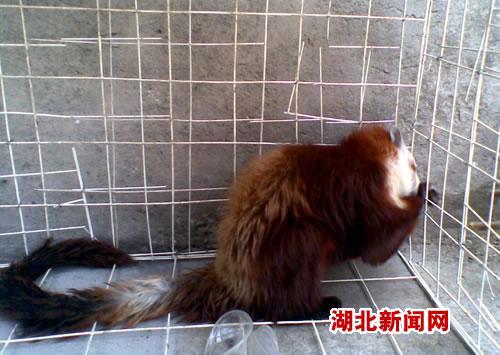 """竹溪县桃源乡惊现国家二级保护动物""""红白鼯鼠""""(图)"""