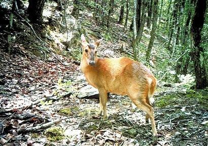 黄麂是几级保护动物
