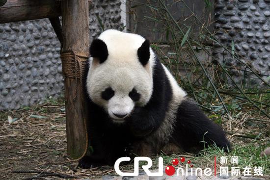 中国租借给法国的两只大熊猫与游客见面