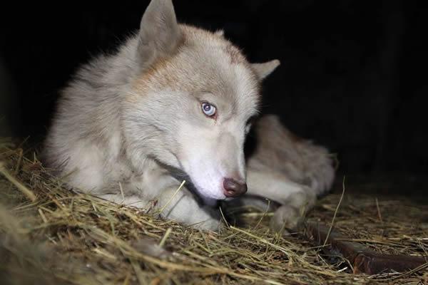 白狼是国家几级保护动物