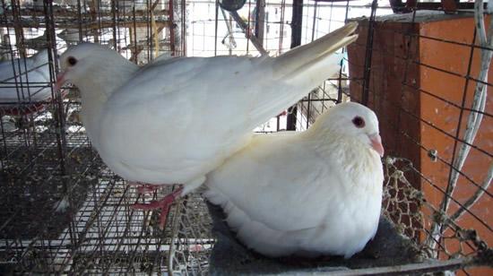专家教您养好福莱尔美国皇鸽的几个要点高清图片