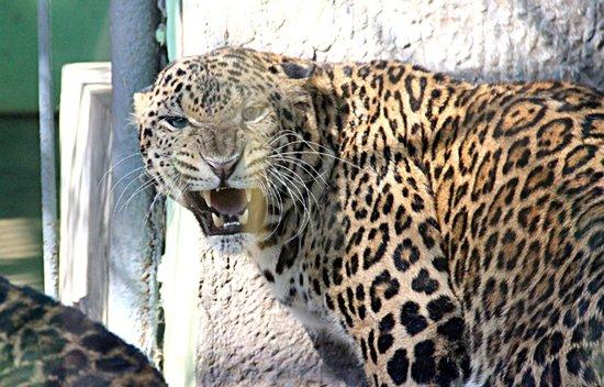 4日,沙市中山公园动物园喜添两名新成员,它们是两只金钱豹,但还没有名字。   昨天,记者见到了这两只金钱豹时,它们趴在墙角。当记者靠近铁笼时,其中一只金钱豹大声嘶吼起来。   动物园园长助理刘本武介绍,金钱豹一公一母,公金钱豹近两岁,母金钱豹1岁多,重量均在50多公斤。两只金钱豹是该园从深圳野生动物园买回来的。它们刚到园内时,焦躁不安,还打了一架,结果,母豹输给公豹。   刘本武介绍,两只金钱豹每天要吃5公斤牛肉或鸡骨架,不过,每天只需喂食一次。为了保持它们的野性,偶尔会喂活物。目前,两只金钱豹还没