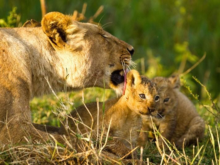非洲猫科动物温馨画面:狮子妈妈为幼崽舔毛