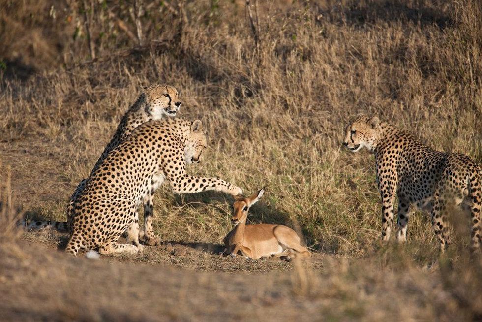摄影师捕捉猎豹抚摸小鹿瞬间(高清)-摄影师|野生动物