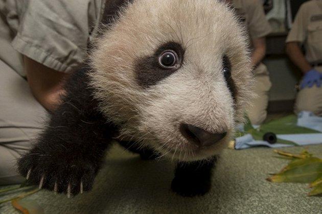 美国圣迭戈动物园的熊猫宝宝极其活泼健康