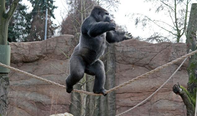 德动物园大猩猩无防具自学走绳索|科技探索|荆州新闻网