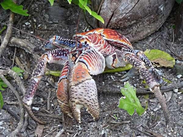 世界现存最大的节肢动物:椰子蟹