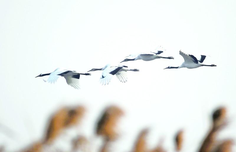 黄鹤鸟展翅飞翔图片