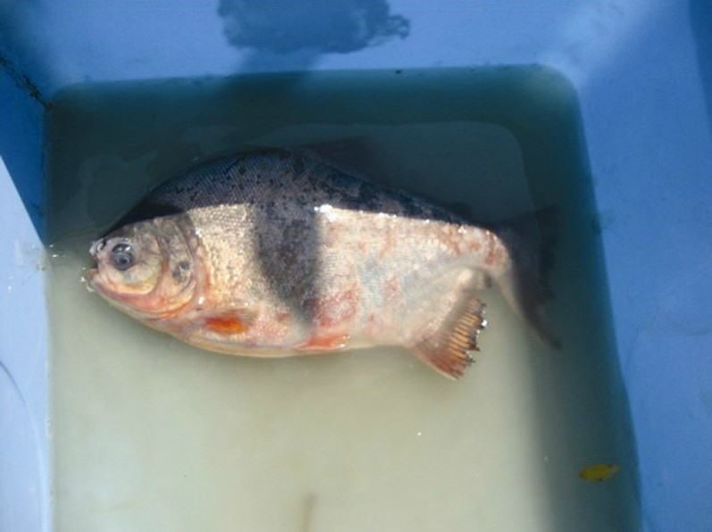 长江江陵段捞了条 怪鱼 原产于南美洲亚马逊河流域图片