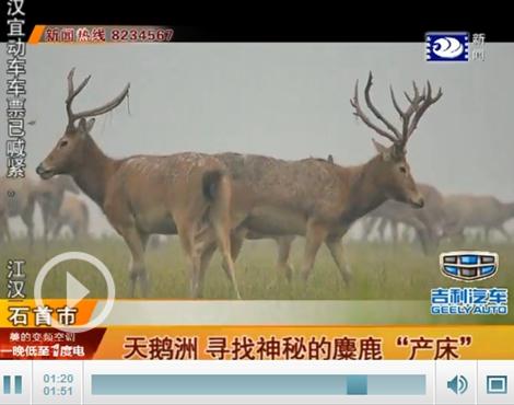 石首麋鹿国家级自然保护区副主任李鹏飞说