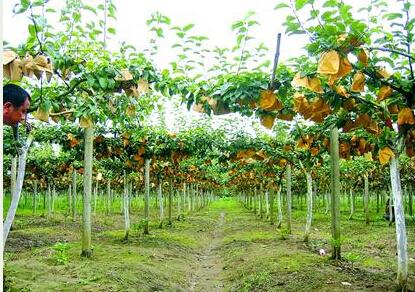 有一片梨园显得很特别:梨树的枝条搭在棚架上,结出的果实由黄色纸袋