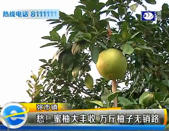 梦见柑橘树上结满柚子