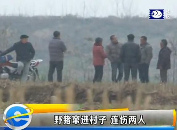 惊现野猪 咬伤两村民一警察荆州新闻网 e线民
