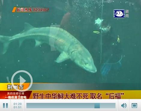 荆州资源安家中华鲟捕获渔民将在新洲取名后福a先锋视频图片
