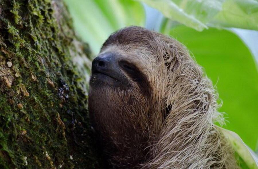 树懒:动物园里饲养的树懒每天睡觉时间达到15