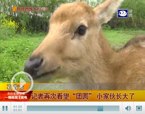 石首麋鹿国家级自然保护区工作人员杨涛说