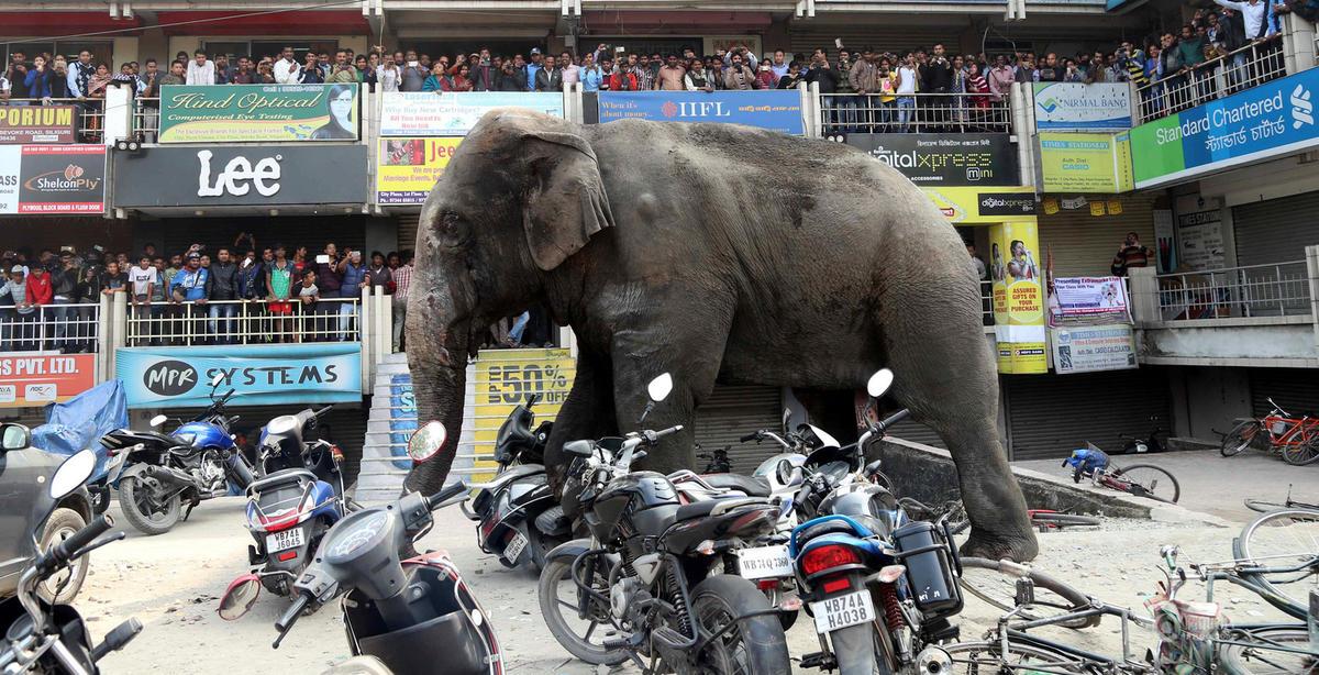 印度野象闯入街头 引村民拍照围观
