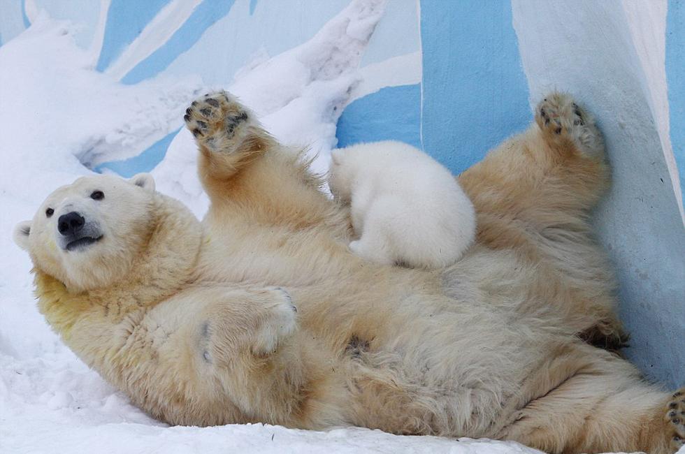 高清:俄罗斯动物园北极熊母女雪中嬉戏萌化游客
