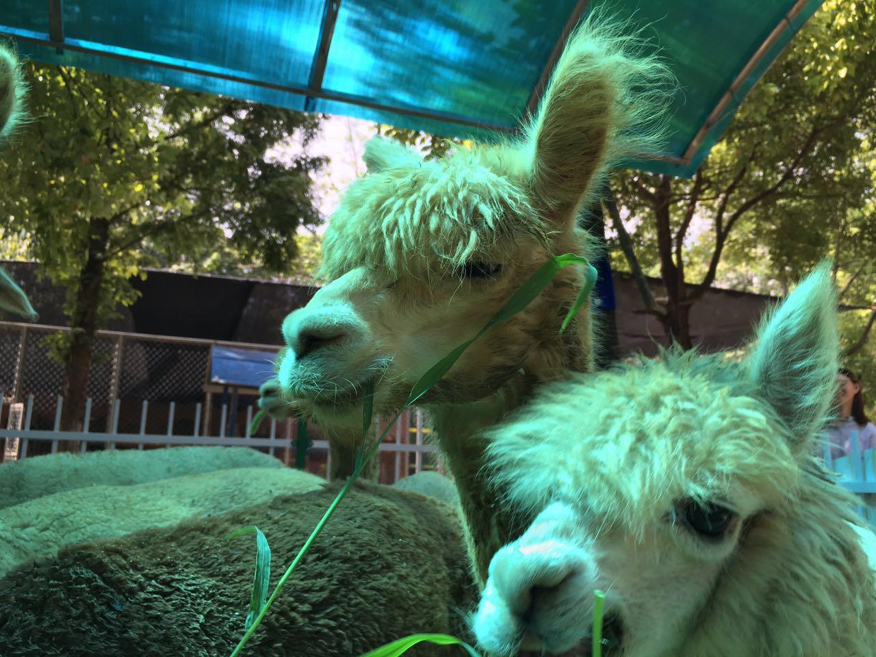 """快一起去沙市中山公园动物园看""""羊咩咩""""(组图)"""