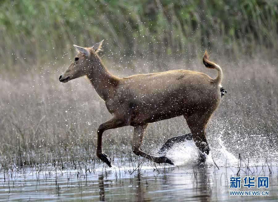 8月27日,一头麋鹿在湖北石首麋鹿国家级自然保护区内奔跑.