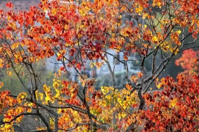 4      乌桕树遍布罗田县全境,其中尤以九资河镇红叶最为著名.