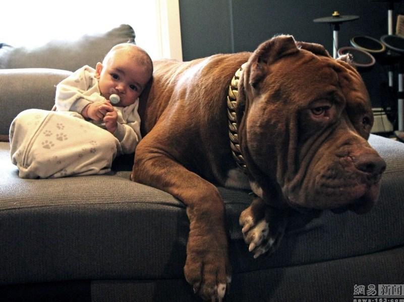 和比特犬和谐相处