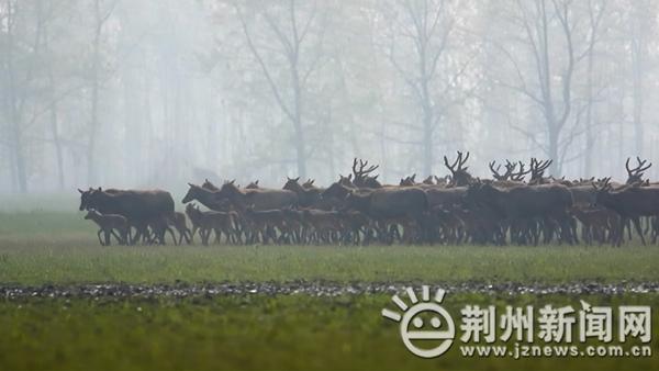 组图:石首麋鹿保护区添新丁 102头小麋鹿健康成长