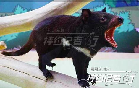 世界上体型最大的肉食性有袋类动物——袋獾