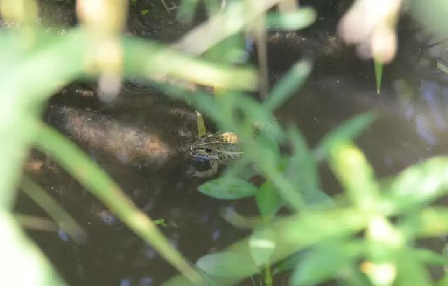 石首这个村的稻田好热闹 1万余只青蛙回 工作岗位