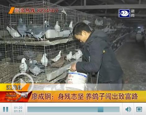 浏览广告赚钱就业创业在荆州:廖成钢身残志坚 养鸽子