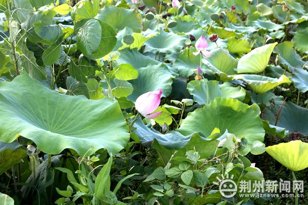 荆州区八岭山镇石马村:美丽乡村建设如火如荼