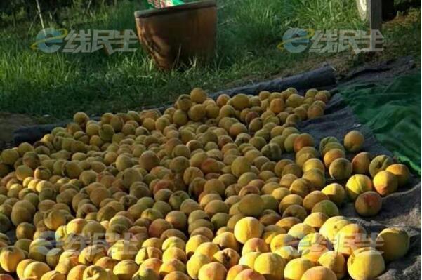 荆州三湖黄桃出现滞销价格跳水 快来帮帮果农吧!