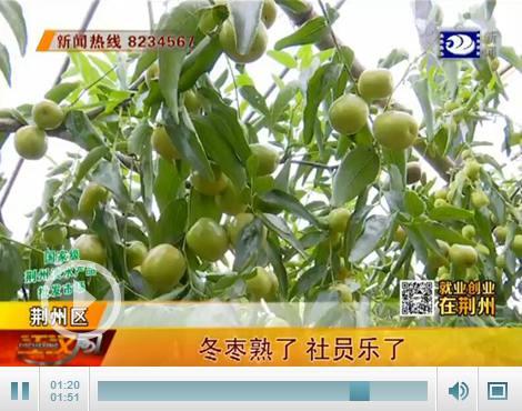 怎么能在网上赚钱就业创业在荆州:种植脆甜冬枣 一亩能赚三万多元
