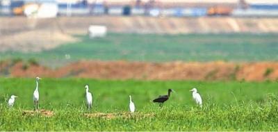 武汉市观鸟协会到黄陂区府河湿地观鸟 意外看到彩�q