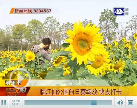 荆州临江仙公园大片向日葵竞相绽放 周末快去打卡