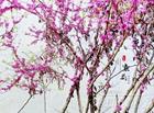特约记者行:春天花事 紫荆弄姿