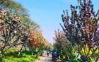 特约记者行:城南樱花以胜利姿态绽放