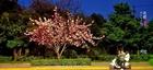 特约记者行:夜樱物语 公园路的樱花