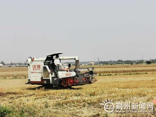 """夏收时节来了!荆州区弥市镇""""两夏""""作物收割忙"""
