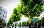 特约记者行:荆州十大行道树赏心悦目