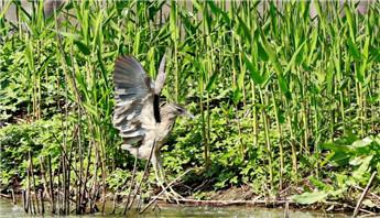 特约记者行:明月公园的水鸟又多起来了