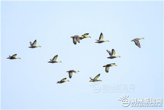 荆州市长湖湖面初步发现斑嘴鸭600多只和绿头鸭300多只